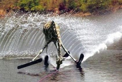 What?!!! ##Picture Pretty nice shot of a giraffe water skiing!! | News from Libya | Scoop.it