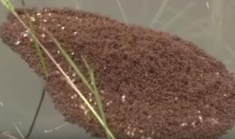 VIDEO. Etats-Unis : comment les fourmis échappent aux inondations   694028   Scoop.it
