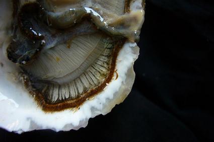 Ce mal mystérieux qui décime les huîtres | Toxique, soyons vigilant ! | Scoop.it