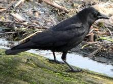 Study shows crows able to infer actions of hidden agent | leapmind | Scoop.it