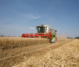 Fears heatwave will dent wheat yields | UK #harvest13 | Scoop.it