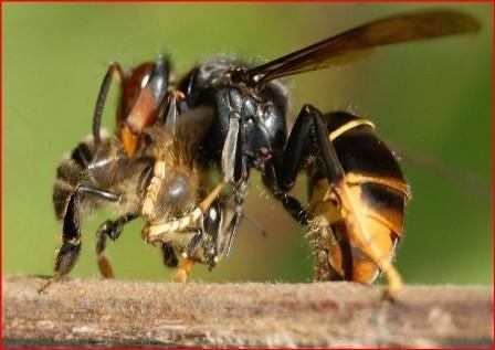 ABEILLES – Le frelon asiatique classé espèce nuisible | Enviro2B | Abeilles, intoxications et informations | Scoop.it