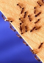 Fire ants result in fire call in Cleveland, Georgia | All About Ants | Scoop.it