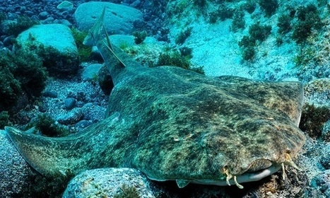 40% of Europe's sharks and rays face extinction, says IUCN | Scoop des Histoires Naturelles | Scoop.it