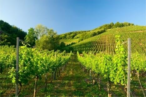 Du vin syrien bientôt commercialisé au Royaume-Uni | Articles Vins | Scoop.it