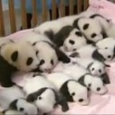 Here are 14 baby pandas in a crib   animals and prosocial capacities   Scoop.it