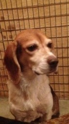 "LOST DOG: Saint Benoni|Meteghan River, Digby Co., NS — Beagle, Female, Adult — ""Sally"" 