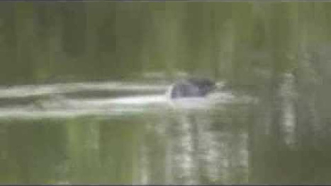 This Mekong River Monster footage is pretty weird | Strange days indeed... | Scoop.it