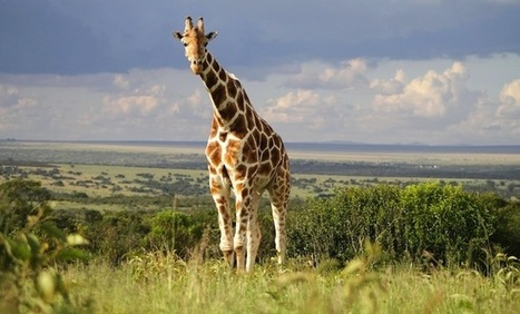 Why wild giraffes are suffering a 'silent extinction' | GarryRogers NatCon News | Scoop.it