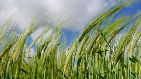 Ancient barley DNA gives insight into crop development - BBC News | Farming, Forests, Water, Fishing and Environment | Scoop.it