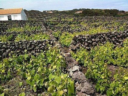Pour les VDV: à Terceira, petites lampées açoriennes de verdelho ...   Vendredis du Vin   Scoop.it