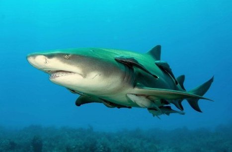 Sharks Have Tough Skin Worthy of Biomimicry | Biomimicry | Scoop.it