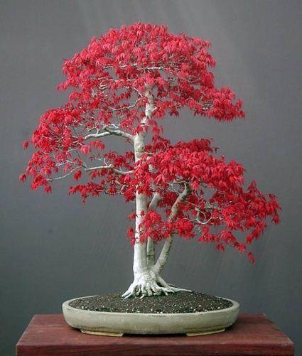 Japanese Maple Bonsai | Harmony Nature | Scoop.it
