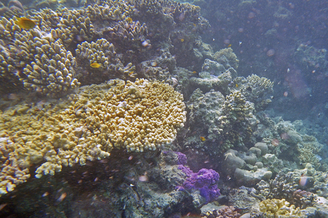 Coral Symbiosis | SCUBA | Scoop.it