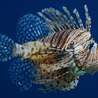 Lionfish take over of the reefs