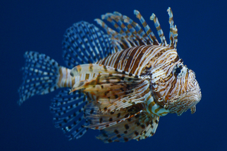 How Can We Stop Lionfish From Taking Over Our Oceans? Eat Them. - TakePart | Lionfish take over of the reefs | Scoop.it