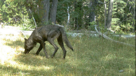 Wolves Return To California | News we like | Scoop.it
