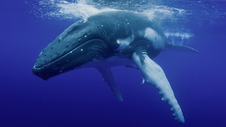 One Per Cent: Whale acrobatics inspire a faster helicopter | anti dogmanti | Scoop.it