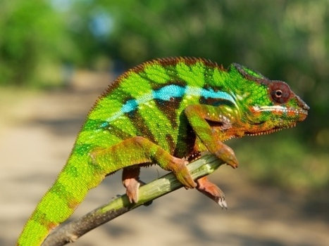 11 new species of chameleon found in Madagascar | this curious life | Scoop.it
