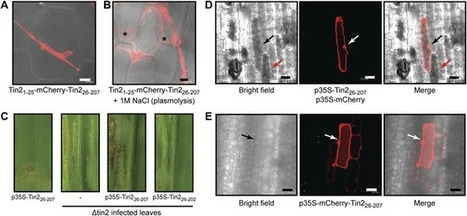 A secreted Ustilago maydis effector promotes virulence by targeting anthocyanin biosynthesis in maize | Effectors and Plant Immunity | Scoop.it