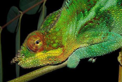 Chameleon's colour magic revealed | this curious life | Scoop.it