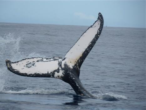 Plongeon de baleine- Ile de La Réunion | La Réunion | Scoop.it