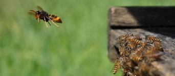 Le frelon asiatique colonise l'Alsace | EntomoNews | Scoop.it
