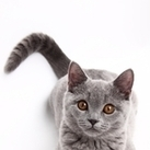Tail Vaccines, Coming to a Clinic Near You?   petMD   Cat Club Elite News   Scoop.it