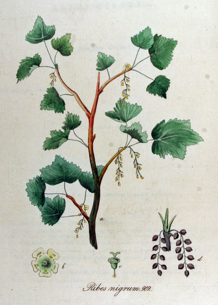 Permaculture Plants: Currants | Temperate Climate Permaculture | Transition and Permaculture | Scoop.it