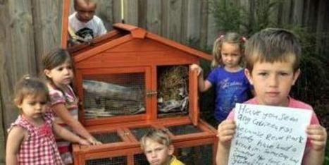 Two stolen guinea pigs 'a huge loss' - New Zealand Herald   St. Pepe De Porcine   Scoop.it