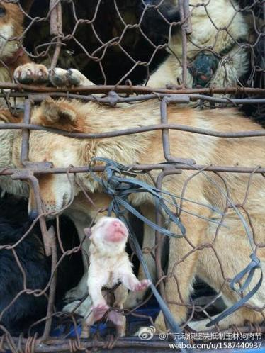 Yulin: an update | Nature Animals humankind | Scoop.it