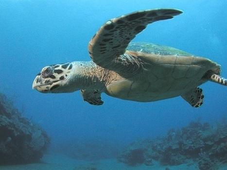Abu Dhabi puts great effort in giving sea turtles their rightful home - Green Prophet   Coral Reef Ecology   Scoop.it