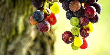 Israël veut devenir une patrie du vin - Agro Media | Actualité de l'Industrie Agroalimentaire | agro-media.fr | Scoop.it