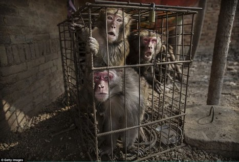 Inside the Chinese farms where monkeys are taught to perform | LibertyE Global Renaissance | Scoop.it