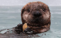 Sea Otter Web Cam | Monterey Bay Aquarium | Webcams of nature | Scoop.it