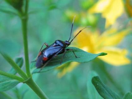AU MOIS DE JUIN : Punaise - Deraeocoris sp. | Les colocs du jardin | Scoop.it
