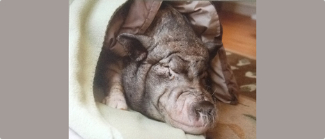 Pet Adoption Means Potbellied Pigs, Too | Cats | Scoop.it