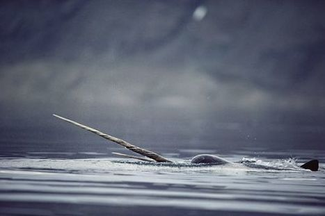 Even the Unicorns #Narwhals of the Sea Can't Escape #ClimateChange calls for preemptive work to #protect them! | Rescue our Ocean's & it's species from Man's Pollution! | Scoop.it