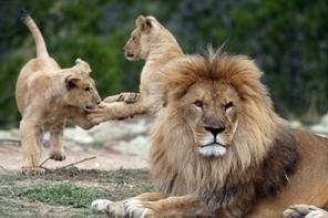 Le déclin de grands prédateurs bouleverse les écosystèmes | Biodiversité & Relations Homme - Nature - Environnement : Un Scoop.it du Muséum de Toulouse | Scoop.it