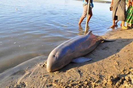 2 Dolphins Killed by Electro-Fishing in Irrawaddy River, Conservationists Say - The Irrawaddy News Magazine | World whale rescue | Scoop.it
