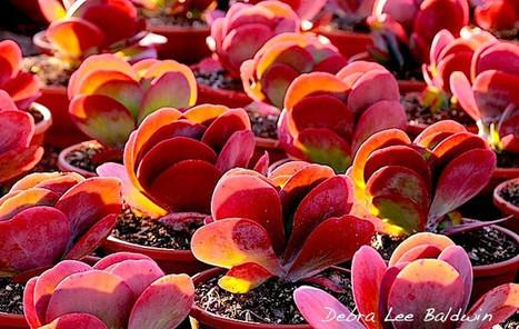 Should You Let Your Flapjack Plants Bloom? | Gardening | Scoop.it