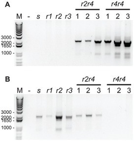 Similar Genetic Basis of Resistance to Bt Toxin Cry1Ac in Boll-Selected and Diet-Selected Strains of Pink Bollworm   Plant-Microbe interactions   Scoop.it