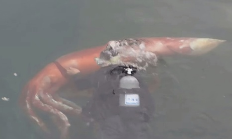 Giant squid that swam into Japanese bay guided back out to sea by diver | PLASTICITIES  «Between matter and form, between experience and consciousness, the active plasticity of the world » | Scoop.it