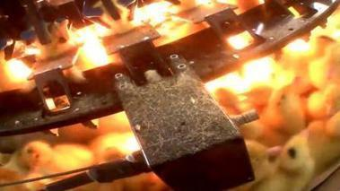 Foie gras: deux vidéos choc de l'association L214 révèlent la souffrance des canards   Nature Animals humankind   Scoop.it