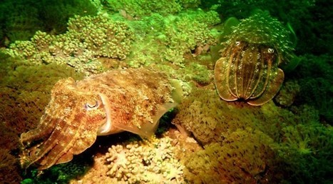 Cuttlefish - Master of Camouflage | SCUBA News | Travel | Scoop.it