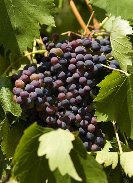 Lacrima di Morro d'Alba un Vino unico in una terra unica | Le Marche un'altra Italia | Scoop.it