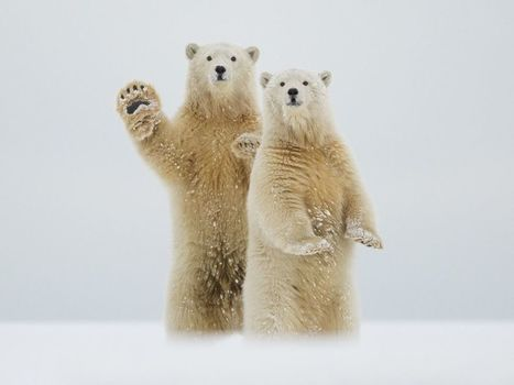Polar Bears Image, #Alaska - National Geographic Photo of the Day - #ours | Hurtigruten Arctique Antarctique | Scoop.it