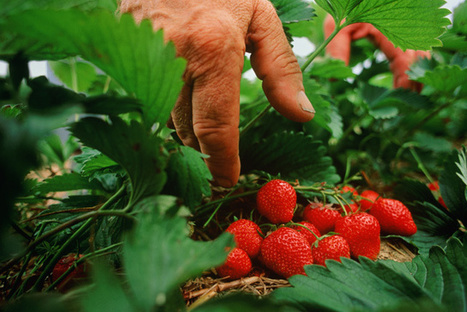 Walmart Wants You to Have Local Strawberries   Our Food and Drug Industry   Scoop.it