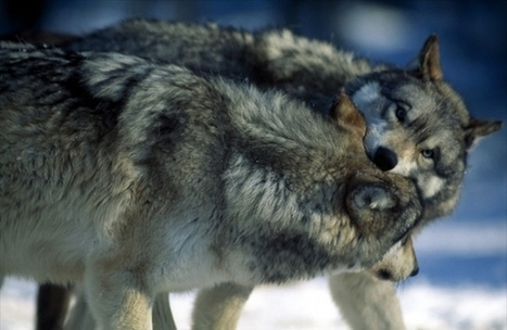 The story of the two wolves: Managing your thoughts, feelings and actions | Leadership and Spirituality | Scoop.it