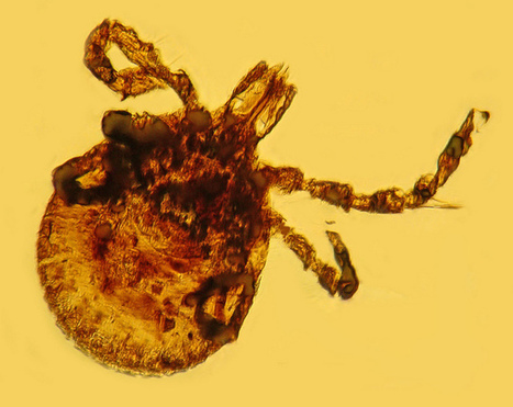 Ancient Lyme Disease Bacteria Found in 15-Million-Year-Old Tick Fossils | Medical Microbiology & Infectious Disease | Scoop.it